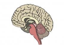 halveret hjerne